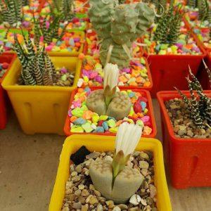 تولیدی گلدان کاکتوسی